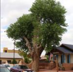 1 Poplar (Cottonwood)