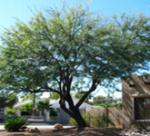 12 Mesquite (Chilean Thornless Hybrid)