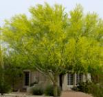 14 Palo Verde (Desert Museum)