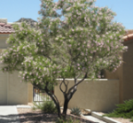 16 Desert Willow